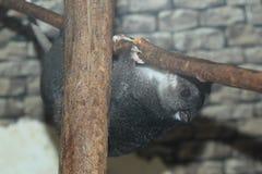 Cuscus a terra fotografie stock libere da diritti