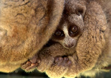 Cuscus Royalty Free Stock Image