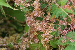 Cuscuta, kanianka, pasożytnicze rośliny Zdjęcia Stock