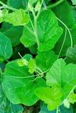Cushaw stem. Fresh cushaw stem growing in field Royalty Free Stock Photography