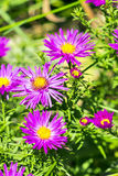 The cushion Aster (Aster dumosus) Royalty Free Stock Photos