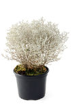 Cushion Bush Leucophyta. Also known as Leucophyta brownii potted on white isolated background royalty free stock images