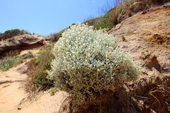 A Cushion Bush Leucophyta brownii. Growing on Flynns beach, Phillip Island, Australia. A small, rounded shrub, endemic to Australia. It has tangled tomentose royalty free stock photography