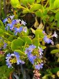 Cushion fanflower, small fan flowers in blue purple growing at H. Amelin Bay Beach, Western Australia Scaevola crassifolia royalty free stock photo