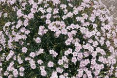 Cushion of pink flowers of dianthus. Cushion of pastel pink flowers of dianthus stock images