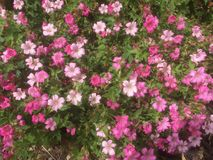 The cushion of pink flowers. In a Gloucestershire garden Stock Image