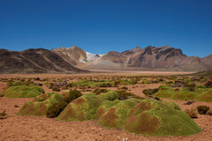 Cushion Plants in the Atacama Stock Photography