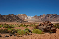 Cushion Plants in the Atacama Stock Image