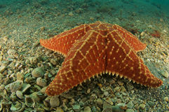 Cushion Sea Star Stock Images