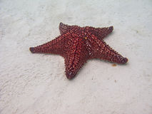Cushion sea star Stock Photography