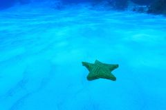 Cushion sea star Royalty Free Stock Photo