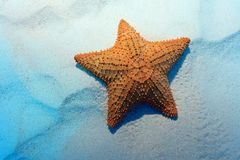 Cushion sea star Royalty Free Stock Photos