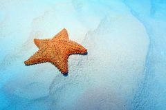 Cushion sea star Royalty Free Stock Image
