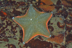 Cushion sea star. Patiriella regularis on rock partially covered with rusty-brown algae royalty free stock image
