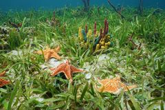 Cushion sea star undersea with colorful sponges Stock Photo