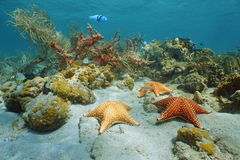 Cushion sea star underwater with coral and sponge Stock Image