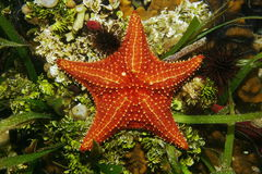 Cushion sea star underwater viewed from above Stock Image