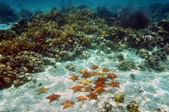 Cushion sea stars underwater in a coral reef Stock Images