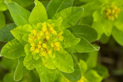Cushion Spurge Flower Stock Images