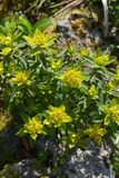 Cushion spurge. Yellow flowers - Latin name - Euphorbia epithymoides Euphorbia Polychroma stock photo