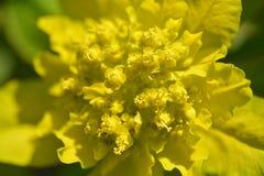 Cushion spurge. Yellow flowers - Latin name - Euphorbia epithymoides Euphorbia Polychroma royalty free stock photo