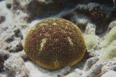 Cushion Star on Coral Reef. Off Kona, the Big Island, Hawaii royalty free stock image
