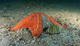 Cushion Star and Sea Urchin Skeleton Royalty Free Stock Photos