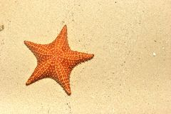 Cushioned Sea Star on beach Stock Photos