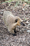 Cusimanse mongoose Stock Images