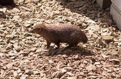 Cusimanse mongoose Royalty Free Stock Images