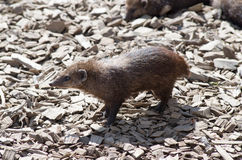 Cusimanse mongoose. Image of some cusimanse which are part of the mongoose family, Typically found in the swamplands and forests of Central and Western Africa Stock Photography
