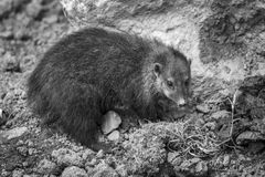 Cusimanse mongoose kusimanse mongoose. Aslo known as the long nose kusimanse which is found in most of the West Africa countries monochrome black and white Stock Image