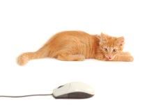 Cuspos do gatinho ao rato do computador Fotografia de Stock Royalty Free