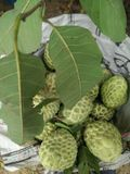 Custard Apple Fotografia Stock