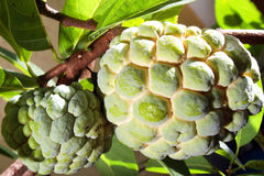 Custard Apple or Atis Stock Photos