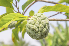 Custard apple. Close up Custard apple raw agriculture on trees. Royalty Free Stock Image