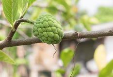 Custard apple. Close up Custard apple raw agriculture on trees. Stock Images