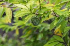 Custard Apple dorośnięcie na drzewie Obrazy Royalty Free