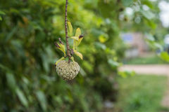 Custard Apple dorośnięcie na drzewie Fotografia Stock