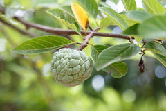 Custard apple, Fresh Fruit Stock Photo