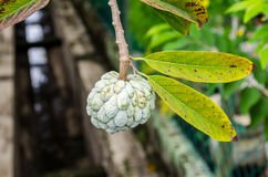 Custard apple fruit Royalty Free Stock Images