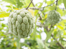 Custard apple fruit,Annona squamosa Stock Photos