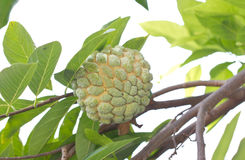Custard Apple Fruit, Annona Squamosa. Stock Photos