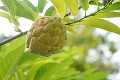Custard apple fruit,Annona squamosa Royalty Free Stock Image