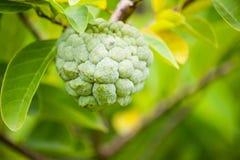 Custard apple fruit on green tree in the garden Royalty Free Stock Photos