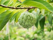 Custard apple fruit on green tree in the garden Royalty Free Stock Photography