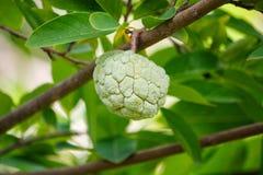 Custard apple fruit on green tree in the garden Royalty Free Stock Photo