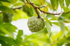 Custard apple fruit on green tree in the garden Stock Photography