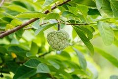 Custard apple fruit on green tree in the garden Stock Image
