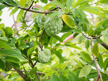Custard apple fruit on green tree in the garden Royalty Free Stock Images